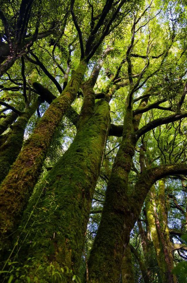 Magnificent Tawa forest in Mokaihaha Ecological Area. (Hua Dai)